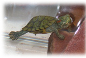 Turtle Tanks - Add Waste-Away bi-weekly to keep the water and filter pads cleaner.